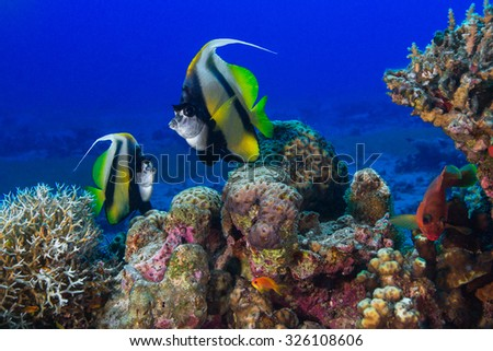 Butterfly fish swims among the corals. Underwater Photo. - stock photo