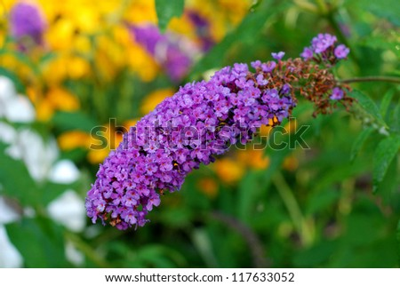 Butterfly flower with early morning dew - stock photo