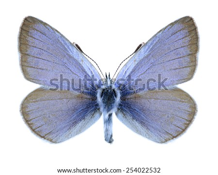 Butterfly Glaucopsyche alexis (male) on a white background - stock photo