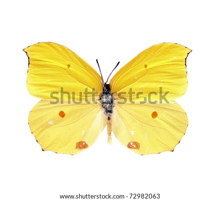 Butterfly Gonepteryx Amintha isolated on white - stock photo