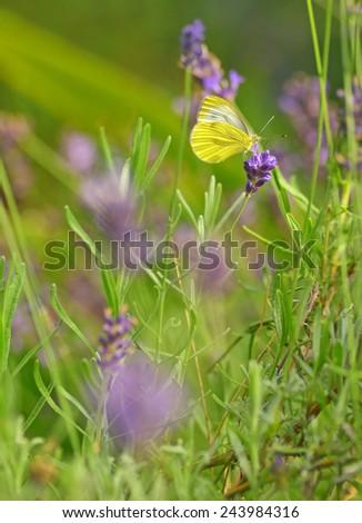 Butterfly Gonepteryx - Cleopatra butterfly on lavender flower  - stock photo
