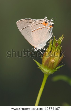 Butterfly, Gray Hairstreak, Strymon melinus