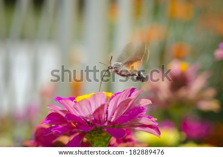 Butterfly hummingbird takes pollen from flower - stock photo