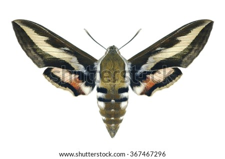 Butterfly Hyles gallii on a white background - stock photo
