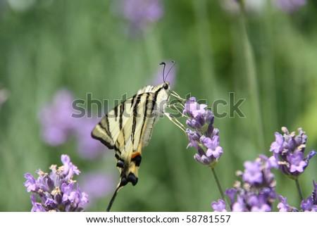 Butterfly (Iphiclides podalirius) on lavander flower - stock photo