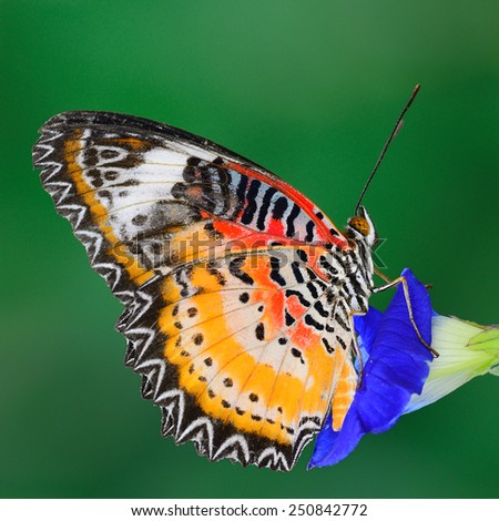 Butterfly ,Leopard Lacewing butterfly, Malay Lacewing butterfly on green background.(Cethosia cyane) - stock photo