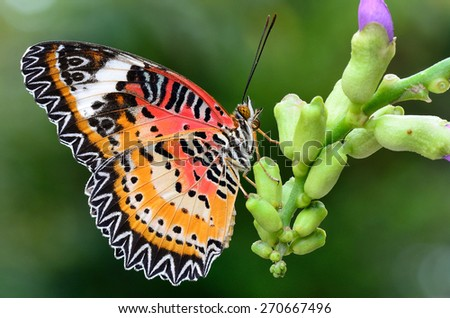 Butterfly,Leopard Lacewing butterfly, Malay Lacewing butterfly on green background.(Cethosia cyane) - stock photo