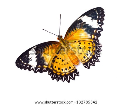 Butterfly (Leopard Lacewing) isolated on white background - stock photo