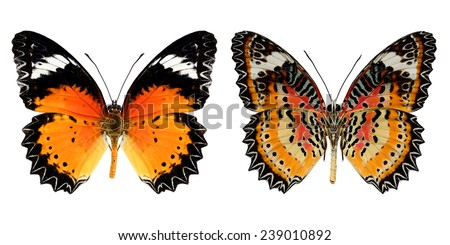 Butterfly, Malay Lacewing butterfly, Leopard Lacewing butterfly isolated on white background. - stock photo