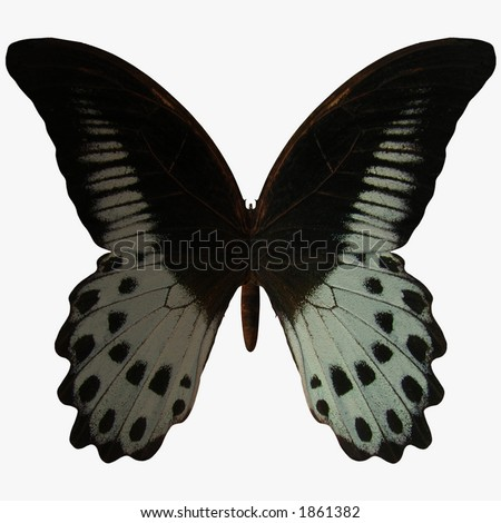 Butterfly-Marble Swallow Tail - stock photo