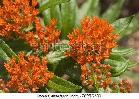 Butterfly Milkweed. - stock photo