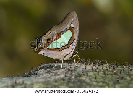 Butterfly named Common Nawab.Scientific name Charaxes athamas.Thailand
