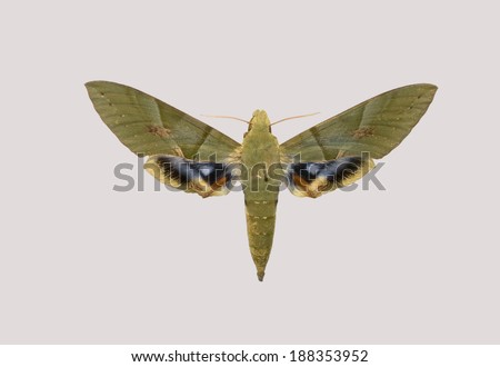 Butterfly of Pholus labruscae from South America. - stock photo