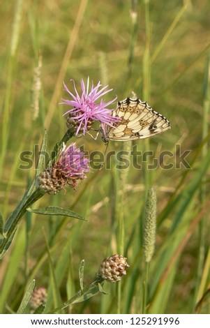 Butterfly on a cornflower - stock photo