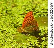 Butterfly on a duckweed pond - stock photo
