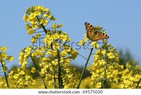 Butterfly on canola flower - stock photo
