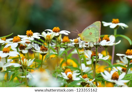 Butterfly on daisy flowers - stock photo