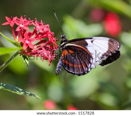 Butterfly on Flower in Costa Rica - stock photo