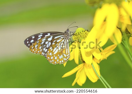 Butterfly on flower,The Blue Tiger (Tirumala limniace) - stock photo