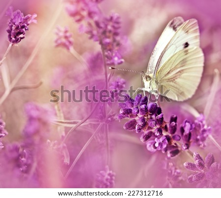 Butterfly on lavender - closeup - stock photo