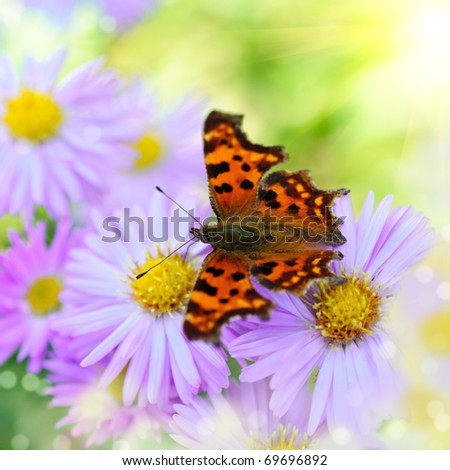 Butterfly on lilac daisy flowers over green defocused natural background in sunny day. Selective focus. Postcard - stock photo