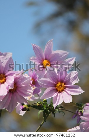 Butterfly on pink dahlia flower - stock photo