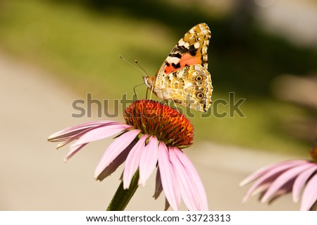 butterfly on pink summer flower