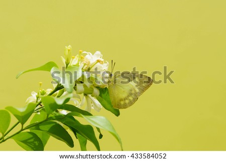 butterfly on white flower in yellow background