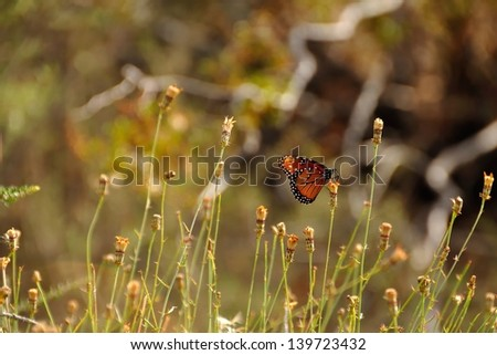 Butterfly on wildflower in Joshua Tree National Park - stock photo