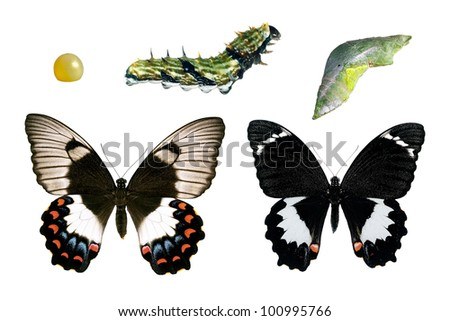 Butterfly - Orchard Swallowtail, Papilio Aegeus, life-cycle stages - stock photo
