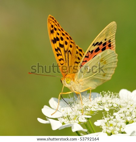 butterfly outdoor on flower (argynnis paphia) - stock photo