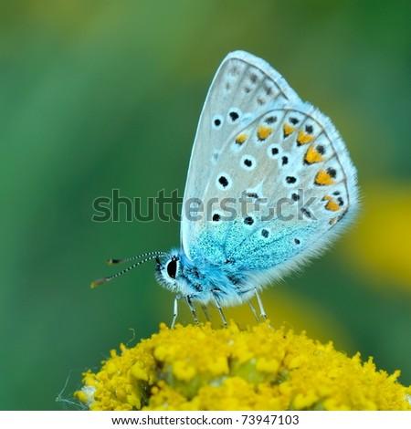 butterfly outdoor (polyommatus icarus) - stock photo