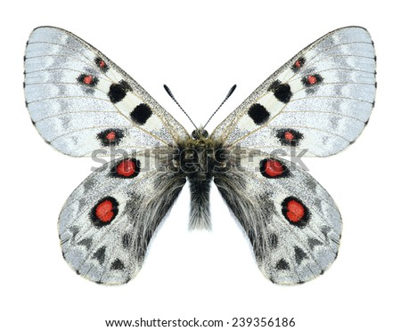 Butterfly Parnassius tianschanicus alexander (male) on a white background - stock photo