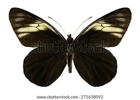 Butterfly Pereute charops on a white background - stock photo