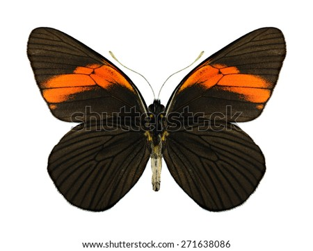 Butterfly Pereute leucodrosine (underside) on a white background - stock photo