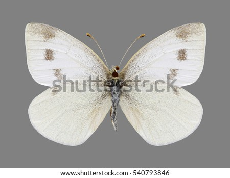 Butterfly Pieris ergane on a black background