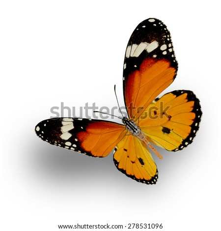 Butterfly, Plain Tiger Butterfly upper wing profile flying up (Danaus chrysippus) - stock photo