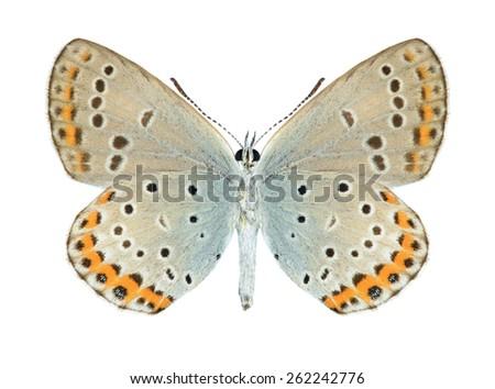 Butterfly Plebejus argyrognomon (male) (underside) on a white background - stock photo