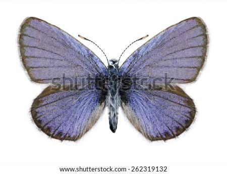 Butterfly Plebejus idas (male) on a white background - stock photo