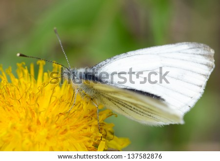 butterfly pollinating yellow dandelion and drinking nectar - stock photo
