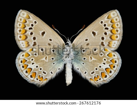 Butterfly Polyommatus icarus (female) (underside) on a black background - stock photo