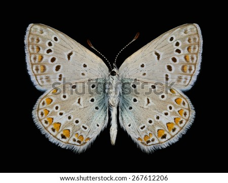 Butterfly Polyommatus icarus (male) (underside) on a black background - stock photo