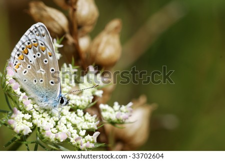 Butterfly (Polyommatus icarus) on a flower with copy space - stock photo