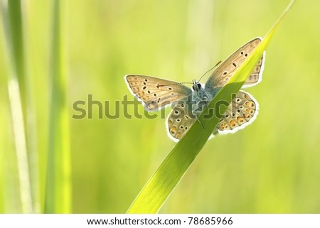 Butterfly (Polyommatus) on a spring meadow in the sunshine. - stock photo