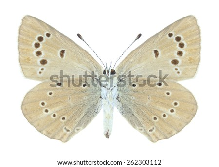 Butterfly Polyommatus ripartii (female) (underside) on a white background - stock photo