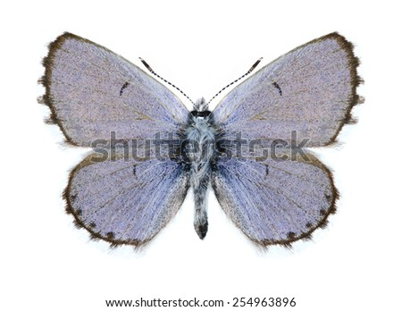 Butterfly Pseudophilotes vicrama schiffermulleri (male) on a white background - stock photo
