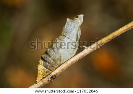butterfly pupa after being abandoned by adult - stock photo