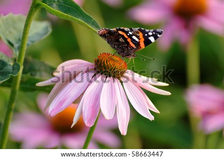Butterfly Red Admiral (Vanessa atalanta)sitting on Echinacea