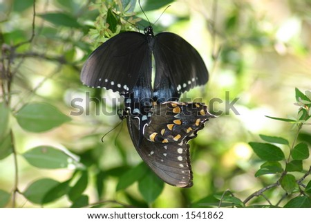 Butterfly's Mating - stock photo