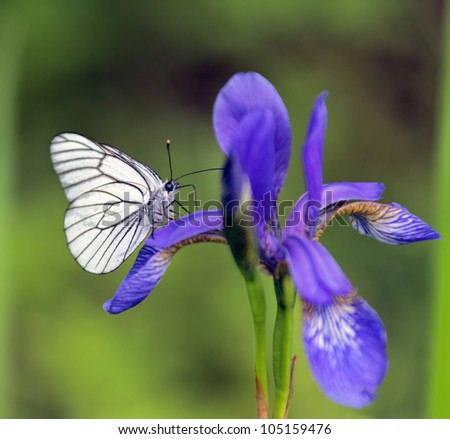 Butterfly sitting on a iris - stock photo
